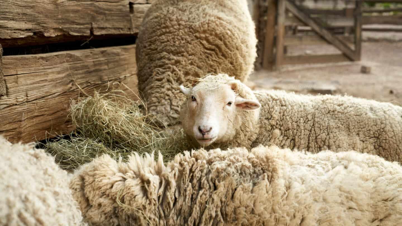 Smith Family farm sheep