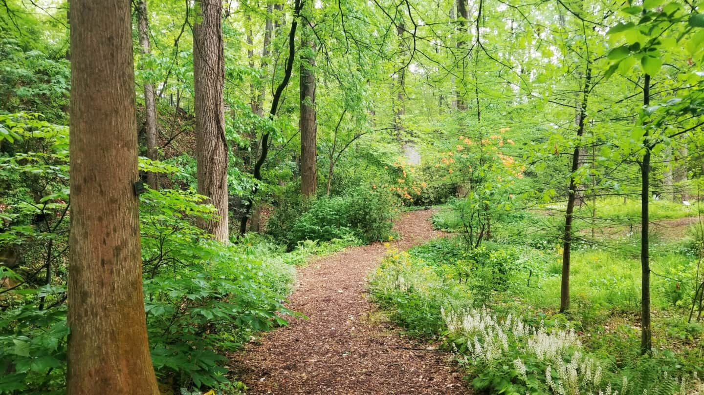 Quarry Garden path with Tiarella cordifolia (foamflower in flower)