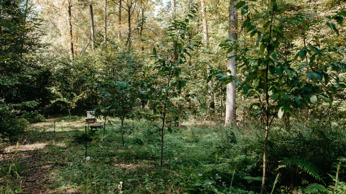 american chestnut orchard
