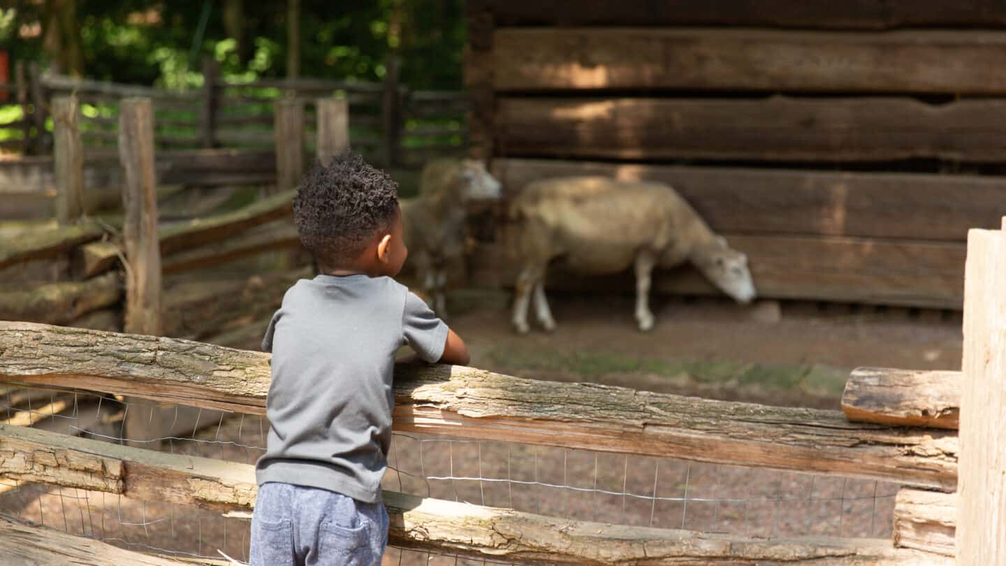 small boy standing on wooden fence gazing at a sheep