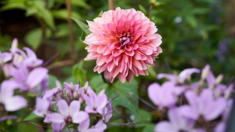 Dahlia and Cleome 'Inncleosr' Senorita Rosalita® (spider flower)