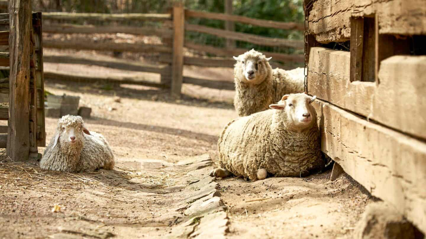 two sheep laying on all fours, and one sheep standing