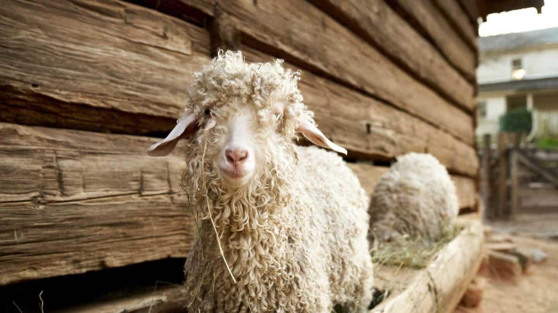 a sheep standing in wooden pen of grass