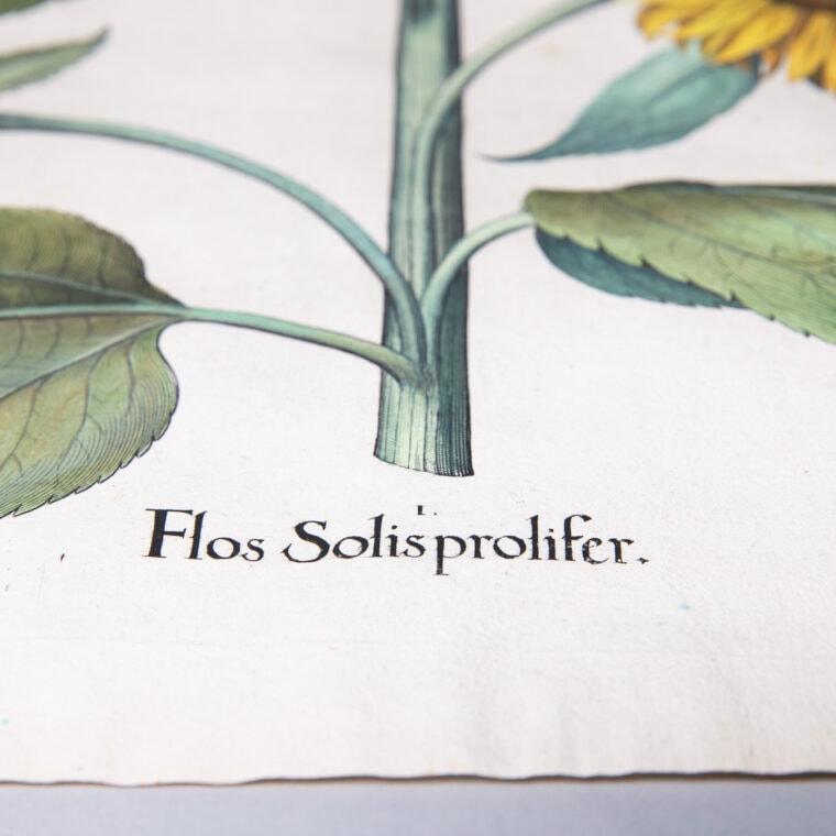 sunflower botanical print letters