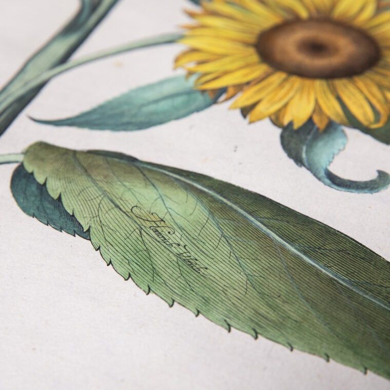 sunflower botanical print close up