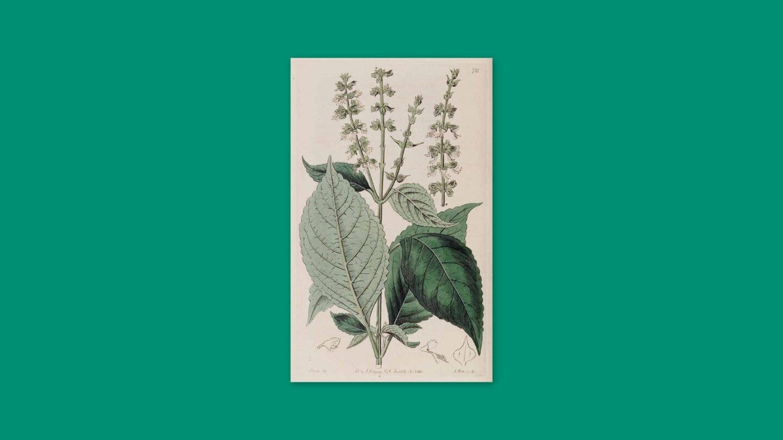 botanical illustration of African Basil